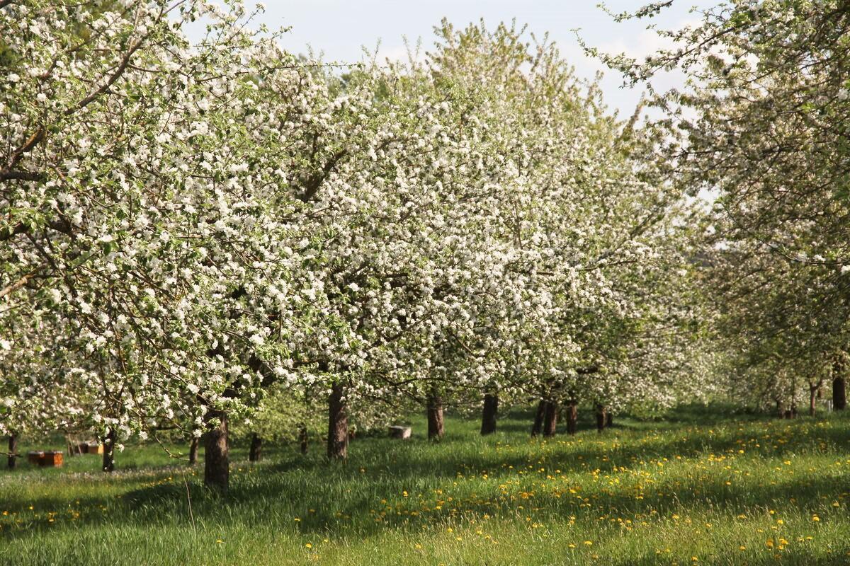 Apfel-Essig aus Streuobstäpfeln